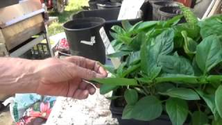 GREEN BELL PEPPER - GROWING STEP BY STEP [HOW TO DO IT] (OAG 2017)