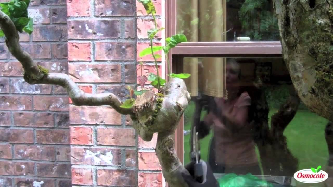 How To Prune Contorted Filbert Trees Youtube
