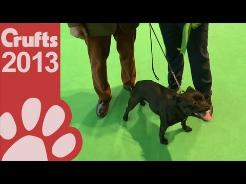 Staffordshire Bull Terrier - Best of Breed - Crufts 2013