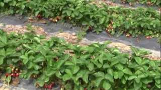 ЛПХ Павливские Урожай винограда земляники 2012г.