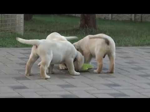 Puppy Labrador Retriever Litter L - Love Nice Friend -  49 days