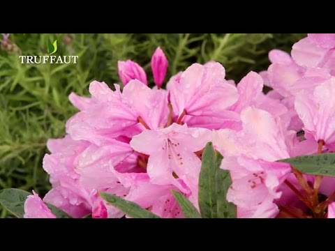 Comment Planter Un Rhododendron ? - Jardinerie Truffaut Tv - Youtube