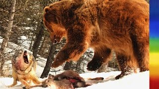 Grizzly Bears and Wolves - National Geographic Documentary thumbnail