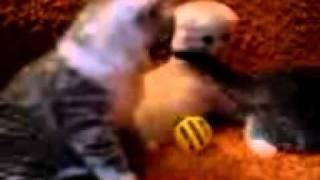 Шотландские вислоухие котята помёт N