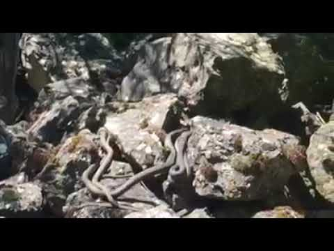 Schlangen auf der Schlangeninsel Golem Grad im Prespa See in Mazedonien