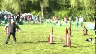 Brittany Spaniel Benio Agility 1st-run