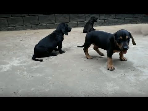 Cute Black & Brown Dachshund Puppies (Dash Dog)