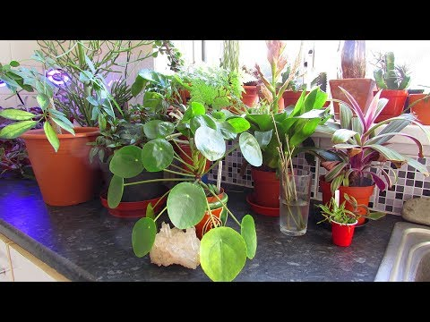 Houseplants and Cacti & Succulents Tour Part one - The Kitchen
