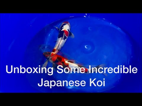 Unboxing A Shipment Of High Quality Japanese Koi
