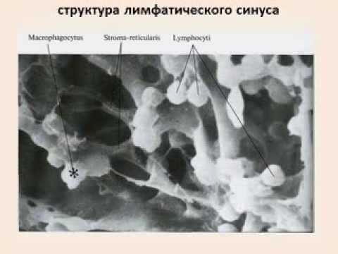 лимфатическая система + органы кроветворения и иммунитета +эндокринная система