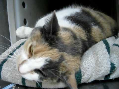 Calico Cat 'Baby' LOVES PEOPLE! Watch her do the roly-poly and make eyes at you.