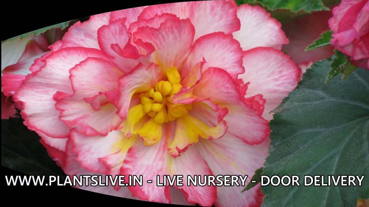 Begonia Plant Care Tips Plantslive In Live Nursery Online