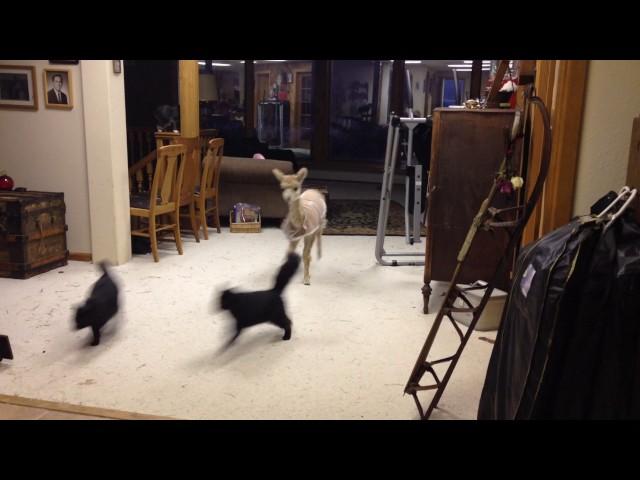 Cody, The Teeny Tiny Alpaca Herds Cats