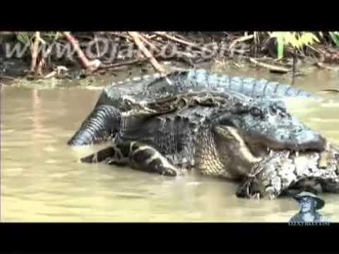 Python vs Alligator 01 -- Real Fight -- Python attacks Alligat
