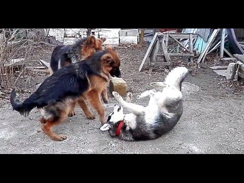 АГРЕССИВНОЕ ПОВЕДЕНИЕ СОБАК. Aggressive Dog Behavior. Одесса.
