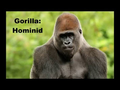 Bigfoot: Hominid or Hominin (ape or man)