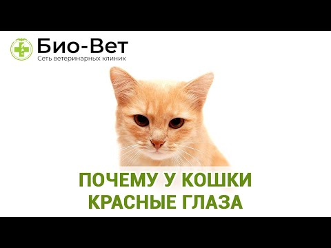 Почему У Кошки Красные Глаза & Что Делать Если У Кошки Покраснели Глаза. Ветклиника Био-Вет