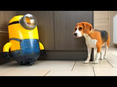Funny Dogs VS 'HUGE R/C STUART' The Minion! Part 3