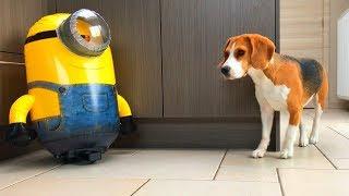 Funny Dogs Vs R/C Minion STUART : Funny Dog Louie The Beagle