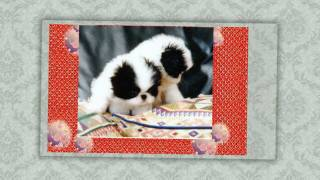 The Japanese Chin Babies I want to be a proud breeder who can save ...