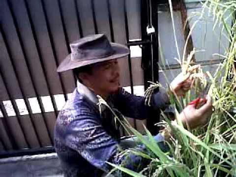 Harvesting Organic Rice