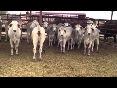 Cattle Auction Over View