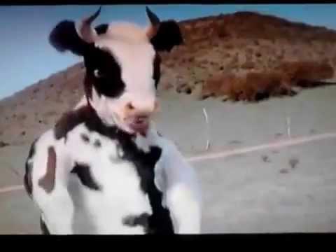 Cow Fighting - قتال بقرة مجنونة  2013