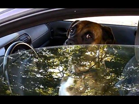 собака за рулем прикол