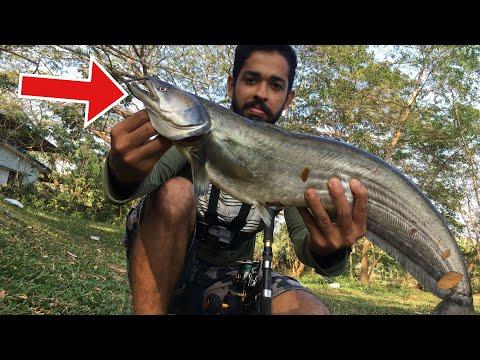 നാടൻ വാള പിടിച്ചു വറുത്തത് | Kerala fish catching and cooking | How to catch and cook Wallago Attu