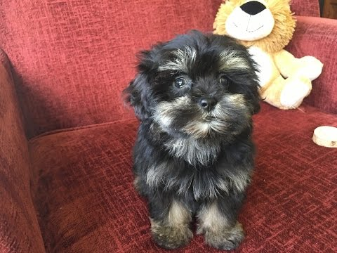 ShihPoo Or Shih Tzu Poodle Pups For Sale In Ocala Florida
