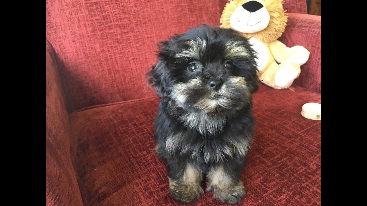 Shihpoo Or Shih Tzu Poodle Pups For In Ocala Florida