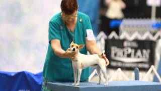 Monroe La 2013 - Toy Fox Terrier