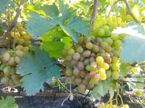 Сорта винограда для рынка