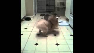 Pom Husky Fight
