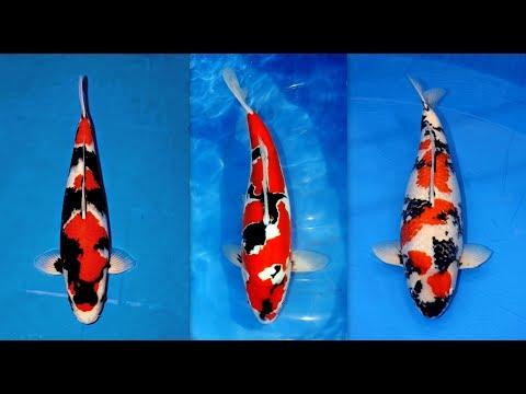 Perbedaan ikan KOI LOKAL dan ikan KOI IMPOR / difference of LOCAL KOI FISH and IMPORTED KOI FISH.