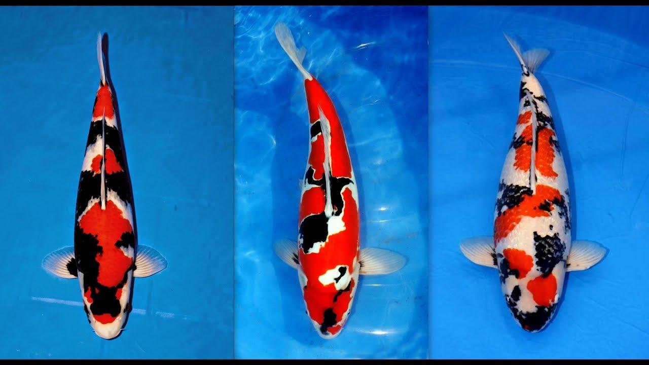 Perbedaan Ikan Koi Lokal Dan Ikan Koi Impor Difference Of Local Koi Fish And Imported Koi