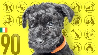 Kerry Blue Terrier❤Cute and Funny Dog breed videos