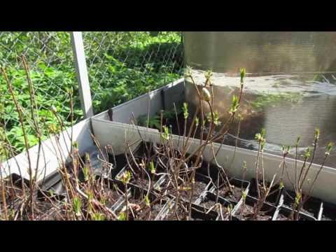 Май 2017 года  Саженцы рододендрона японского