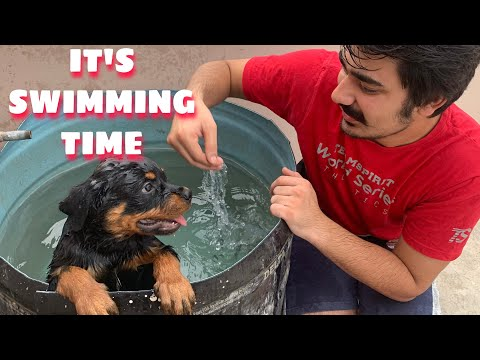 LET'S DO SWIMMING | ROTTWEILER SWIMMING | ROTTWEILER TRAINING|  VLOG # 9|PUPPY SWIMMING