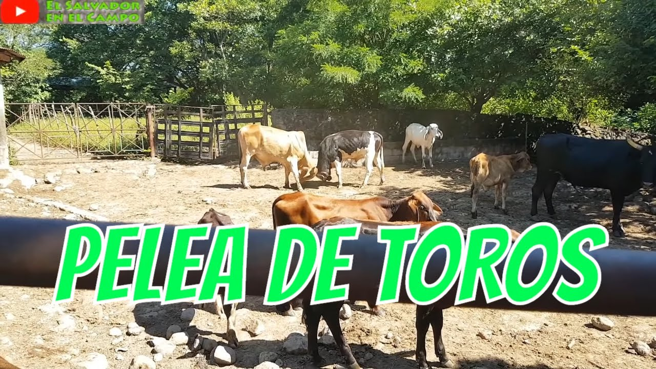 Pelea De Toros Dentro Del Establo El Salvador En El Campo Youtube