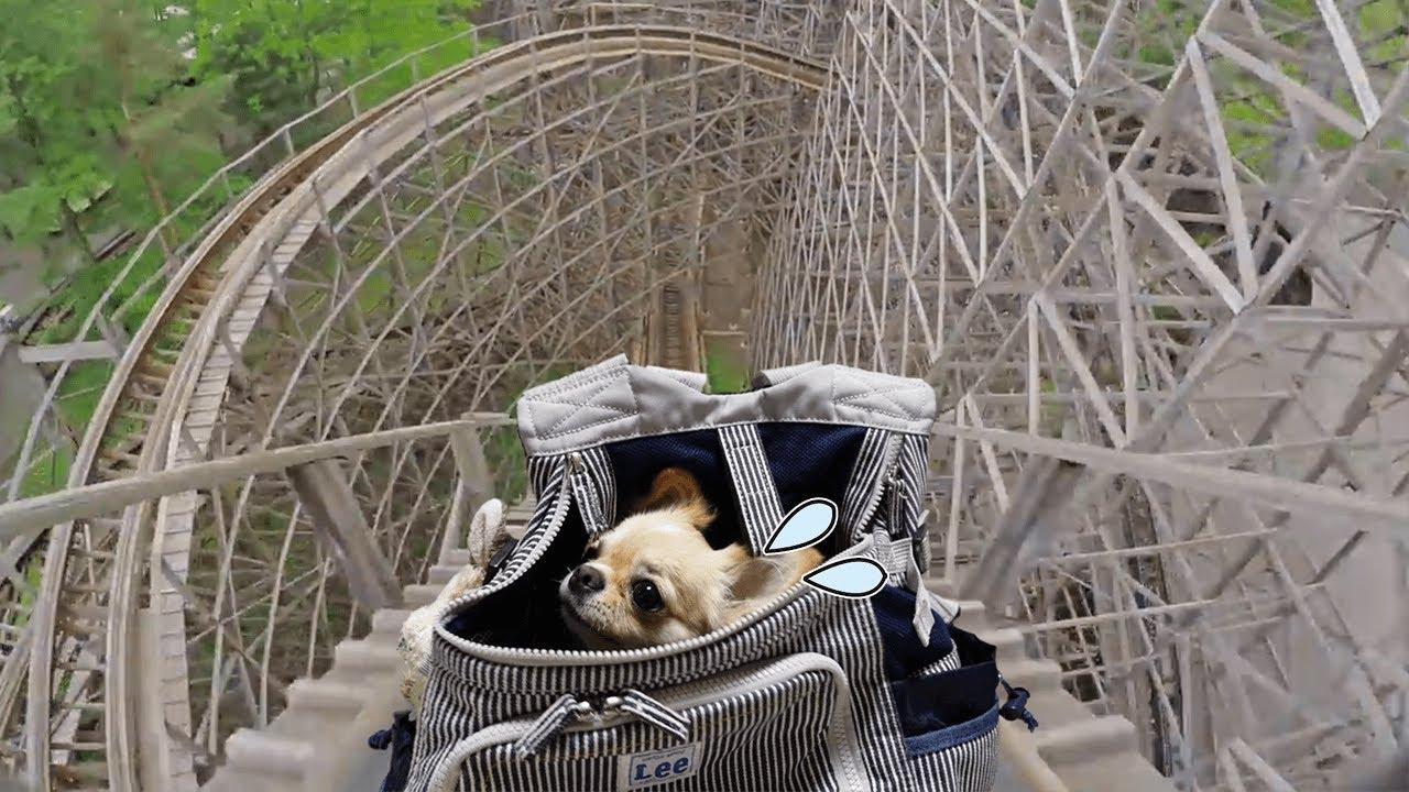高い所が苦手な犬が初めてジェットコースターに乗った時の反応が面白過ぎた【チワワ】【dog】【chihuahua】