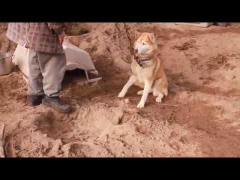 terrified husky at backyard breeder 39 s compound youtube