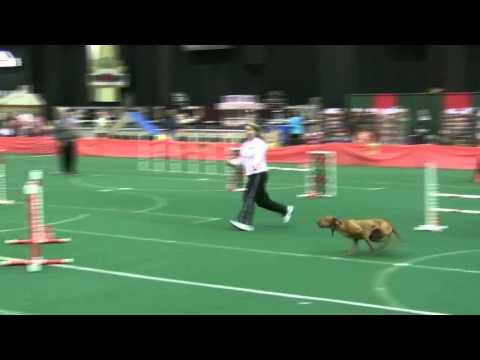 Nadias AKC agility debut
