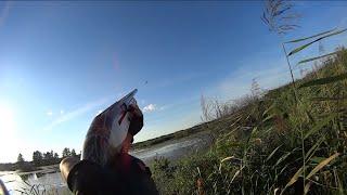 Охота на утку. Открытие осенней в МО