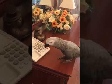 Самый крутой  попугай беседует с хозяйкой