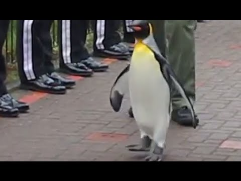 Penguin Promotion: Bird becomes Brigadier during special ceremony