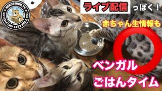 ベンガル猫の家族のごはんの時間を生配信みたいにしてみました。 音が無し、ほぼノーカットの動画もたまにはいかがですか? 出産間近なので今...