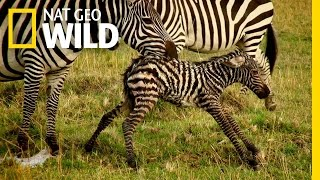Baby Animals Find Their Footing | Animal Moms