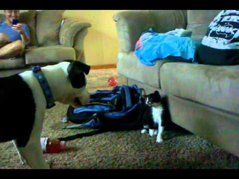 Kitten vs Puppy Attack