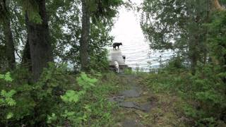 Border Collie X German Shepherd Loves Finnish Sauna